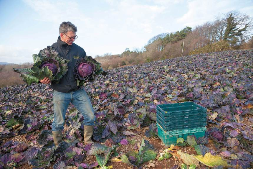 Riverford-founder-Guy-january-king-cabbage-field